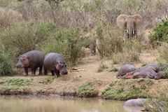 Hipopótamos e elefantes no banco de rio Fotos de Stock Royalty Free