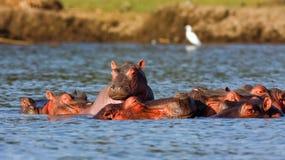 Hipopótamos e garça-real de Naivasha Alpha Male imagem de stock royalty free