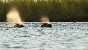 Hipopótamos emergentes Imágenes de archivo libres de regalías