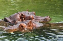 Hipopótamos en agua