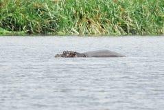 Hipopótamos en el agua, cráter de Ngorongoro, Tanzania foto de archivo