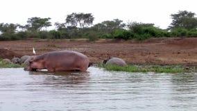 Hipopótamos en el agua de un río almacen de metraje de vídeo