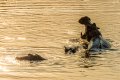 Hipopótamos en la puesta del sol Fotografía de archivo