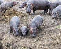 Hipopótamos múltiplos dos tamanhos diferentes que estão na borda do rio que contemplam entrar foto de stock