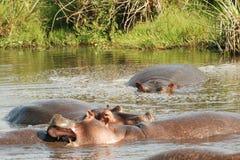 Hipopótamos na água Foto de Stock