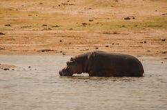 Hipopótamos no lago Kariba no Charara Safari Area National Park South África imagem de stock royalty free