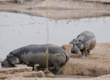 Hipopótamos no lago Kariba no Charara Safari Area National Park South África imagens de stock