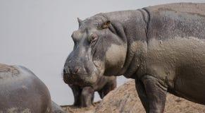Hipopótamos no lago Kariba no Charara Safari Area National Park South África foto de stock royalty free