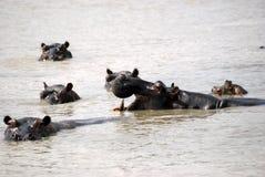 Hipopótamos, parque nacional de Selous, Tanzania Imágenes de archivo libres de regalías