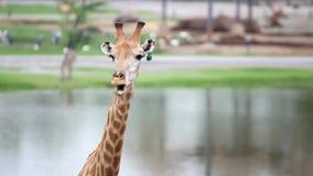 Hipopótamos, pelicanos, parque do safari das zebras com uma mudança video estoque