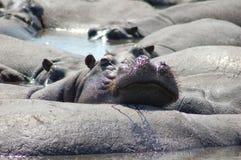 Hipopótamos preguiçosos Imagem de Stock Royalty Free