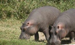 Hipopótamos que alimentam na grama Fotos de Stock