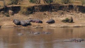 Hipopótamos que duermen en los bancos y en el agua de Mara River In Africa almacen de metraje de vídeo