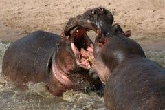 Hipopótamos que luchan en África imagen de archivo libre de regalías
