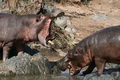 Hipopótamos que luchan en África foto de archivo libre de regalías