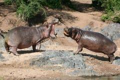 Hipopótamos que luchan en África fotos de archivo