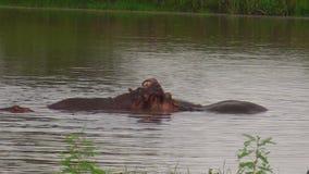 Hipopótamos que luchan para la dominación almacen de metraje de vídeo