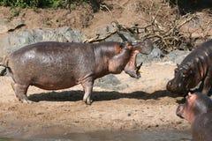 Hipopótamos que lutam em África Fotos de Stock Royalty Free
