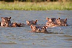 Hipopótamos que se reclinan en la seguridad de un lago Naivasha fotos de archivo libres de regalías