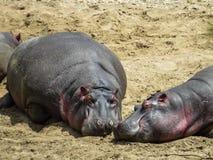 Hipopótamos que tienen baño de sol Imágenes de archivo libres de regalías