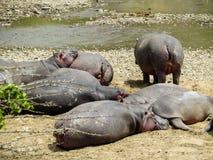 Hipopótamos que tienen baño de sol Fotografía de archivo libre de regalías