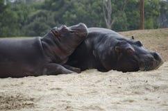 Hipopótamos que toman el sol fotos de archivo libres de regalías