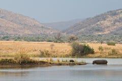 Hipopótamos surafricanos Imagenes de archivo