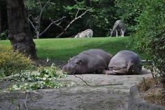Hipopótamos y cebras imagen de archivo