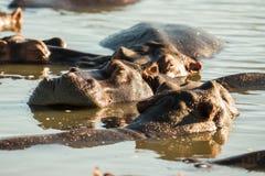 Hipopotam śpi Południowa Afryka Obrazy Royalty Free