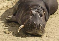 hipopotam zdjęcie stock