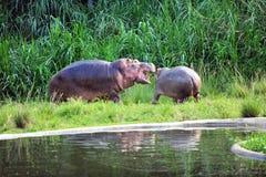 hipopotam Zdjęcia Stock