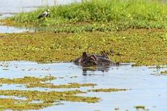 hipopotam Obraz Royalty Free