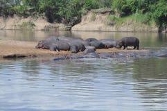 hipopotam Fotografia Royalty Free
