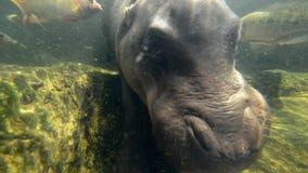 hipopotam zdjęcie wideo