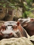 hipopotam Obrazy Royalty Free