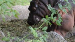 hipopotam zbiory