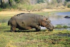 hipopotam zdjęcie royalty free