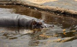 hipopotam Obrazy Stock