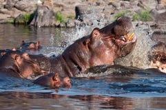 Hipopotam agresja Zdjęcia Royalty Free