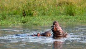 hipopotam bawić się potomstwa Fotografia Royalty Free