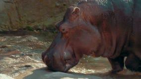 Hipopotam bobruje na brzeg zdjęcie wideo