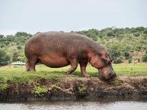 Hipopotam dostaje w rzekę fotografia stock
