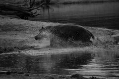 Hipopotam działający daleko od zdjęcia royalty free