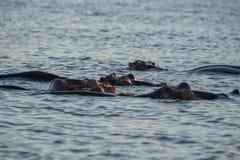 Hipopotam grupa Fotografia Stock