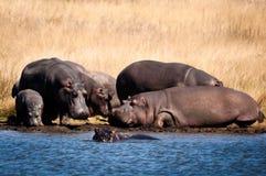 Hipopotam grupa przy plażą Zdjęcia Stock