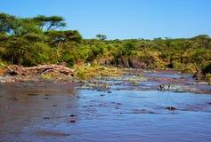 Hipopotam, hipopotam w rzece. Serengeti, Tanzania, Afryka Obraz Royalty Free