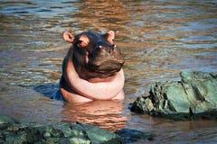 Hipopotam, hipopotam w rzece. Serengeti, Tanzania, Afryka Obrazy Stock