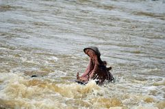 Hipopotam (Hipopotamowy amphibius) Fotografia Stock