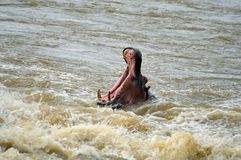 Hipopotam (Hipopotamowy amphibius) Obrazy Stock