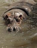Hipopotam (Hipopotamowy amphibius) Zdjęcia Royalty Free